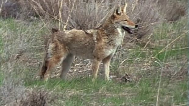 WASeries10-02Coyote