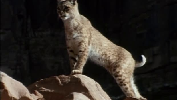 WASeries09-01Bobcat