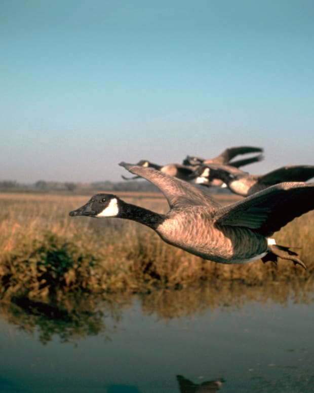6_Game Birds_Fishes