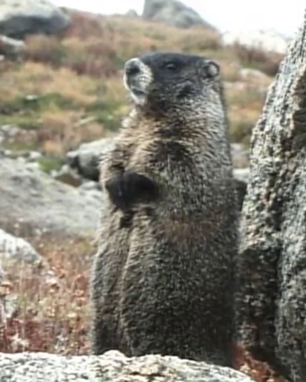 WASeries07-02Marmot